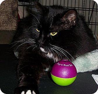 Domestic Longhair Cat for adoption in Hampton, Virginia - Anna