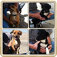 Adopt A Pet :: Pete & Paco - Yerington, NV