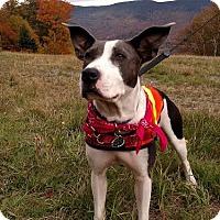 Adopt A Pet :: Maya-LOCAL - Lebanon, ME