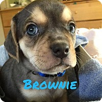 Adopt A Pet :: Brownie - Rexford, NY