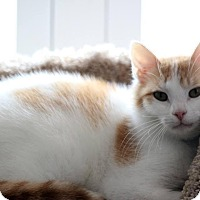 Domestic Shorthair Cat for adoption in Owenboro, Kentucky - CHARLIE!
