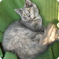 Domestic Mediumhair Cat for adoption in Morehead, Kentucky - Alesana FeLV POSITIVE YOUNG FEMALE