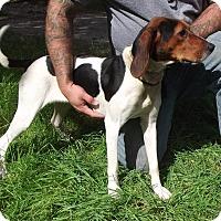 Adopt A Pet :: Walker Hound - Cheboygan, MI