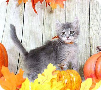 Domestic Mediumhair Cat for adoption in Harrisonburg, Virginia - Willow