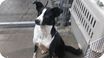Border Collie Dog for adoption in Salem, Oregon - Rose