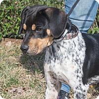 Adopt A Pet :: Ringo - Elmwood Park, NJ