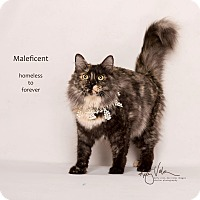 Adopt A Pet :: Maleficent - Sherman Oaks, CA