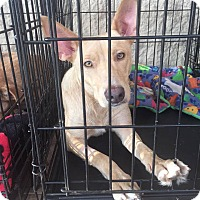 Adopt A Pet :: DeeDee - Gainesville, FL