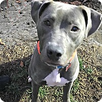 Adopt A Pet :: Hope Rose - Spring Lake, NJ