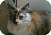 Ragdoll Cat for adoption in Ennis, Texas - Tarma