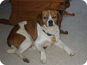 Pug/Beagle Mix Dog for adoption in Carey, Ohio - ZANDER(pending)