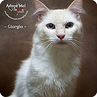 Adopt A Pet :: Giorgio - Phoenix, AZ
