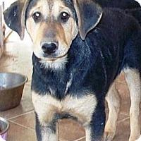 Adopt A Pet :: Missey - Gilbert, AZ