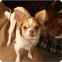 Adopt A Pet :: Cortez - Rigaud, QC