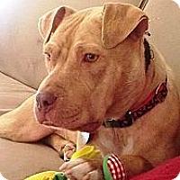 Adopt A Pet :: MAMA MIA - Sunderland, MA