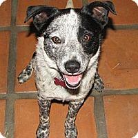 Adopt A Pet :: Stetson - Phoenix, AZ