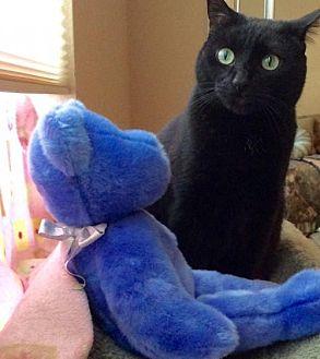 Domestic Shorthair Cat for adoption in San Jose, California - Emma