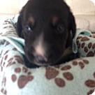 Adopt A Pet :: Molly's Pup Washington