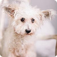 Adopt A Pet :: Diva - Portland, OR