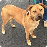 Adopt A Pet :: Shandy - Southeastern, PA
