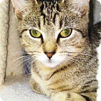 Domestic Shorthair Kitten for adoption in Lansdowne, Pennsylvania - Alfie