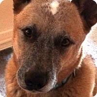 Adopt A Pet :: LANCE - Australian Cattle Dog - DeLand, FL
