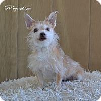 Adopt A Pet :: Koa - Henderson, NV