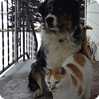Adopt A Pet :: Shep - Elk River, MN