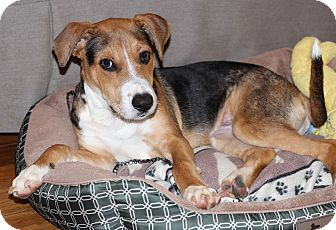 Henry | Adopted Dog | Atlanta, GA | Beagle/Foxhound Mix