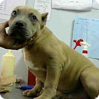 Adopt A Pet :: SAM - Atlanta, GA