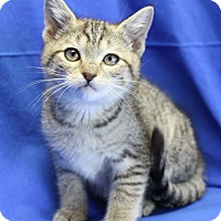 Domestic Shorthair Kitten for adoption in Winston-Salem, North Carolina - Larry