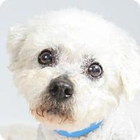 Bichon Frise Dog for adoption in Colorado Springs, Colorado - Pierre