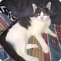 Domestic Shorthair Cat for adoption in Highland, Indiana - Cosmo