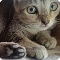 Abyssinian Kitten for adoption in Ocala, Florida - Abby