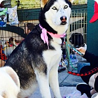 Husky Dog for adoption in Mission viejo, California - Neela