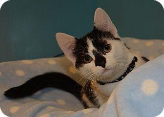 Domestic Shorthair Kitten for adoption in Cincinnati, Ohio - Mushroom