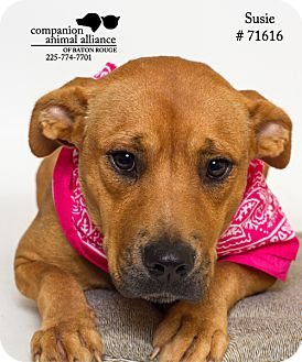 Basset Hound/Terrier (Unknown Type, Medium) Mix Dog for adoption in Baton Rouge, Louisiana - Suzie