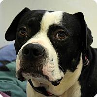 Adopt A Pet :: Bruno - Pontiac, MI
