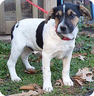 Feist/Boxer Mix Puppy for adoption in Newburgh, New York - Dasher