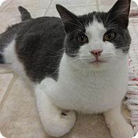 Domestic Shorthair Cat for adoption in Cloquet, Minnesota - Mickey