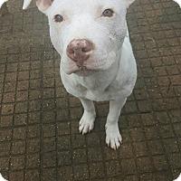 Adopt A Pet :: Arya - West Allis, WI