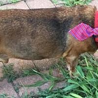 Adopt A Pet :: Lorenzo - Humble, TX