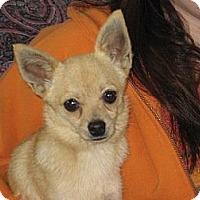 Adopt A Pet :: Bruce the little gentleman - Salem, NH