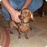 Adopt A Pet :: Mr. Dobby - Shawnee Mission, KS