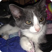 Adopt A Pet :: Tampa *Extra Toes* Poly kitty! - Mount Laurel, NJ