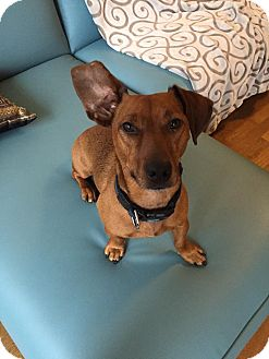 Jack Russell Terrier/Dachshund Mix Dog for adoption in Toronto/GTA, Ontario - HUDSON