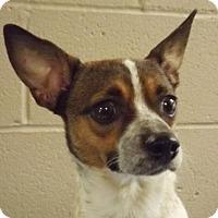 Adopt A Pet :: Sugar Bell - Oxford, MS