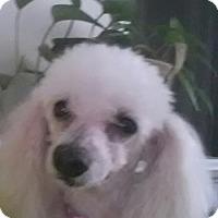 Adopt A Pet :: Bella Lou - Oxford, MS