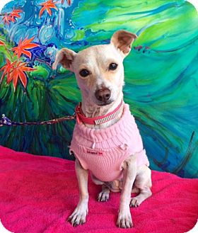 Terrier (Unknown Type, Small) Mix Dog for adoption in San Diego, California - JOSSIE
