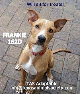 Boxer/Labrador Retriever Mix Dog for adoption in Spring, Texas - Frankie